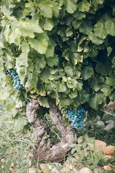 Uva matura su un primo piano del ramo