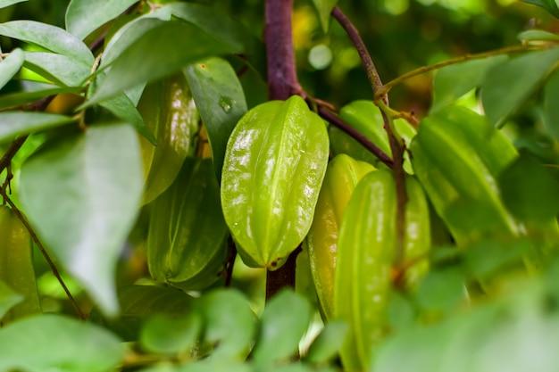 Uva spina o mela stellata, uva spina fresca sull'albero, foglie verdi in giardino, colture agricole, frutti sani, sapore agrodolce