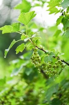 Uva spina verde nel giardino nelle gocce di acqua dopo pioggia. il ramo dell'uva spina. fotografia verticale