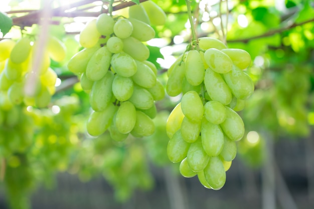 Uva verde che appende su un cespuglio, damnoen saduk, provincia di ratchaburi. tailandia