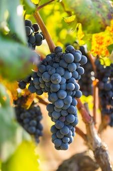 Uva viola matura con foglie in condizioni naturali, la vigna pugliese dell'uva primitivo cresce nel sud italia, in particolare nel salento