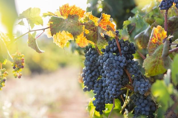 Uva viola matura con foglie in condizioni naturali, vigna in puglia, si trova nel sud italia, in particolare nel salento