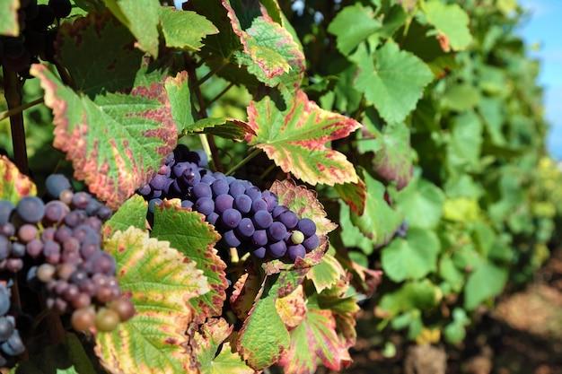 Uve da vino rosso che crescono in un vigneto