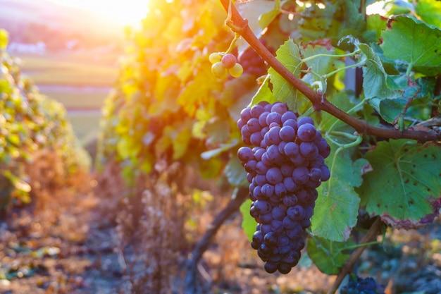 Uve della vite nella regione del champagne nella raccolta di autunno, francia