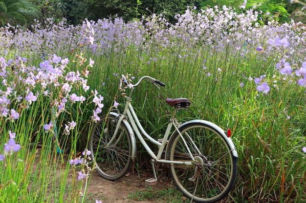 Vada in bicicletta nel giacimento di fiore porpora pastello nell'ambito della luce solare di mattina