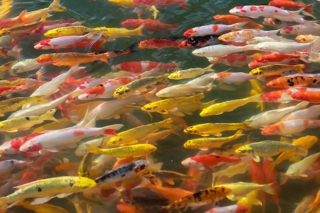 Variopinto del pesce del mestiere di koi che nuota in un lago, fondo astratto della sfuocatura
