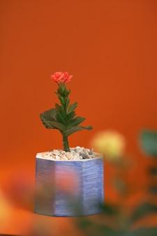 Vaso con la gerbera della pianta isolata su fondo arancio. avvicinamento