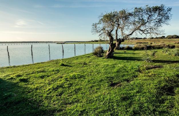 Vecchia quercia di sughero (quercus suber) sulle rive del lago