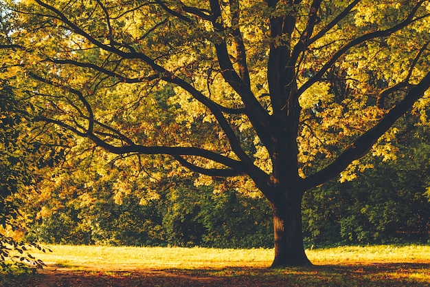 Vecchia quercia enorme con le foglie di giallo backlit con il sole nel parco di autunno, vista frontale.