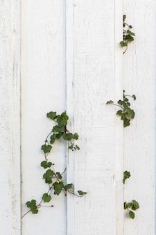 Vecchie plance di legno bianco su una vecchia parete di casa, edera verde piante che crescono attraverso il muro