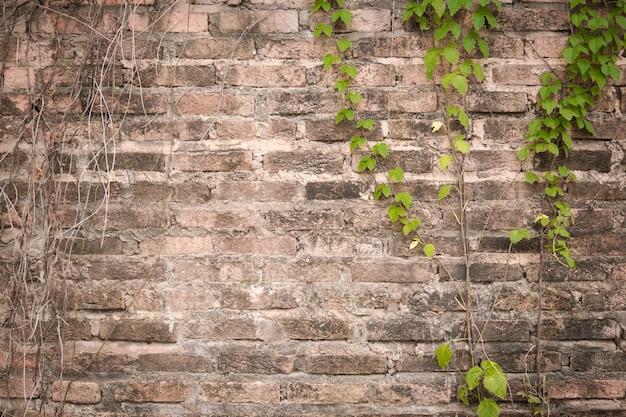 Vecchie viti sul vecchio muro di mattoni. vecchio muro di mattoni con pianta rampicante edera verde.
