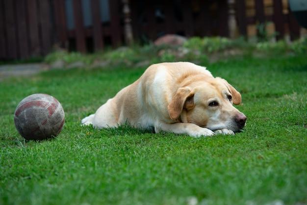 Vecchio cane labrador con palla sull'erba