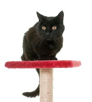 Vecchio gatto nero sul tiragraffi