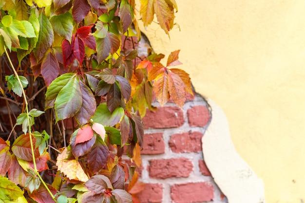 Vecchio muro di mattoni rovinato e uva selvatica. autunno. foglie colorate.