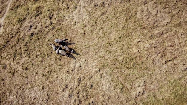 Veduta dall'alto, fotografia aerea, un branco di bufali che mangia in aride praterie