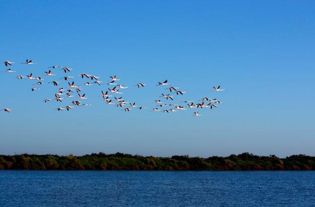 Veduta di un grande gruppo di fenicotteri rosa nel parco naturale di