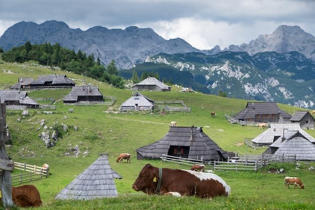 Velika planina. mucche al pascolo sulle montagne alpine.