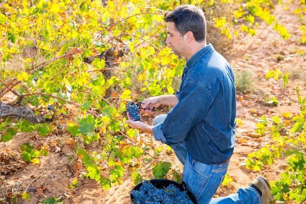 Vendemmia mediterranea vigneto raccolto cabernet sauvignon