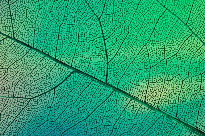 Vene trasparenti astratte della foglia con verde