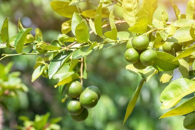 Verde limone lime su albero in giardino, fresco verde lime sull'albero con luce bokeh di fondo