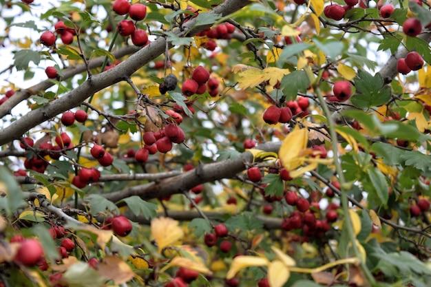 Verde naturale delle bacche mature fresche del ramo del crespino