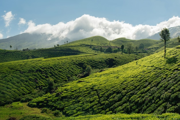 Verdi colline delle piantagioni di tè a munnar