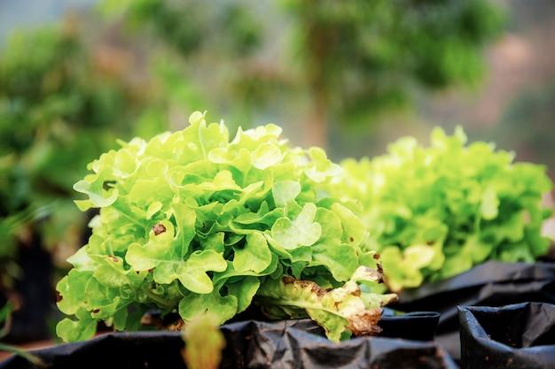 Verdura biologica in vaso.