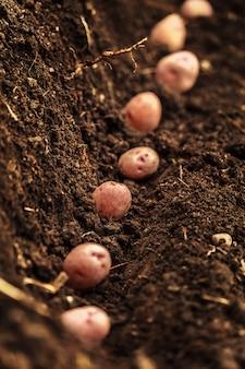 Verdura di campo di patate con tuberi nella superficie del terreno sporco