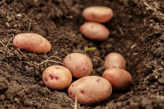 Verdura di campo di patate con tuberi nella superficie dello sporco del suolo