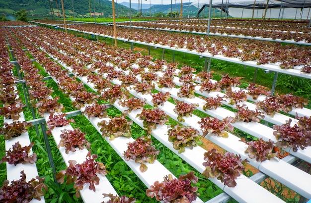 Verdura di insalata della lattuga della quercia rossa in piante idroponiche del sistema di fattoria su acqua