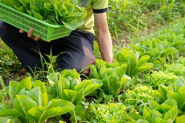 Verdura fresca della lattuga romana di raccolto a mano con il canestro dalla fattoria