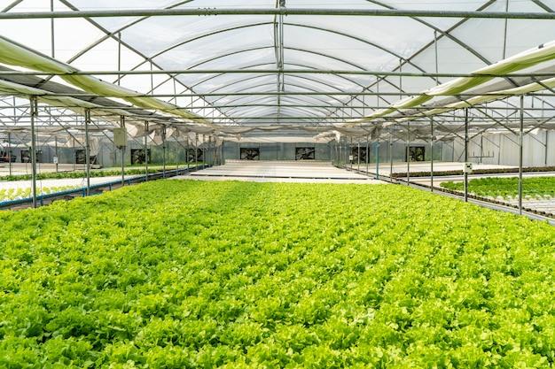 Verdure di insalata organiche verdi da un'azienda agricola dell'interno che è a temperatura controllata.