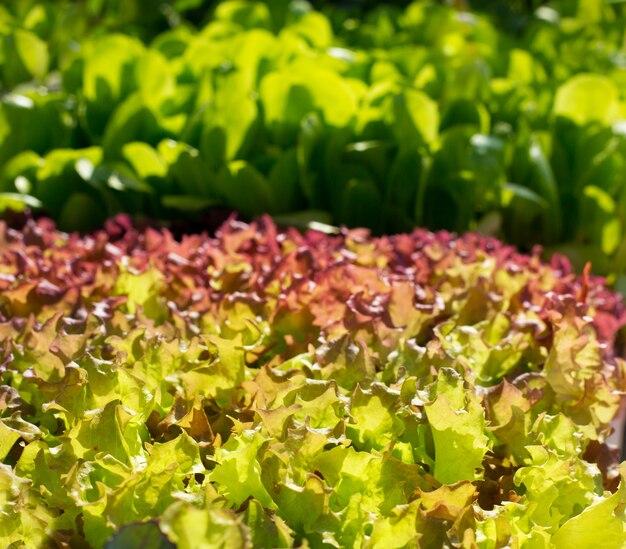 Verdure di lattuga indivia texture di germogli