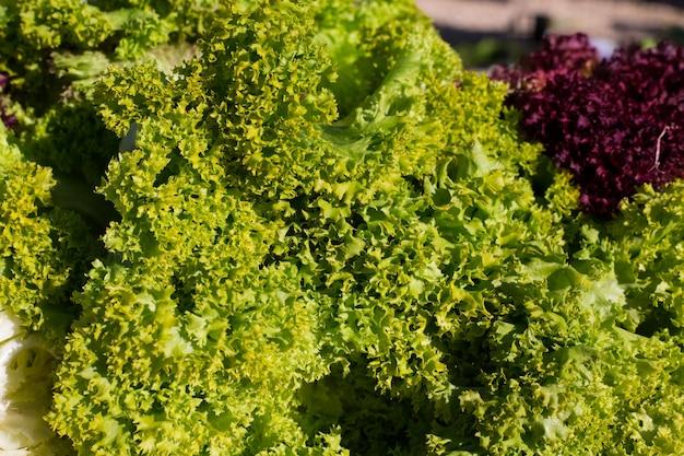 Verdure di lattuga indivia verde e viola