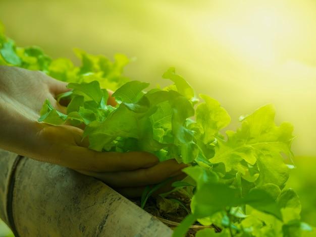 Verdure in crescita e verdure a foglia verde. è un alimento per gli amanti della salute.