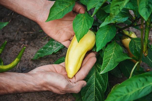 Verdure organiche fatte in casa nelle mani di peperoni maschi.