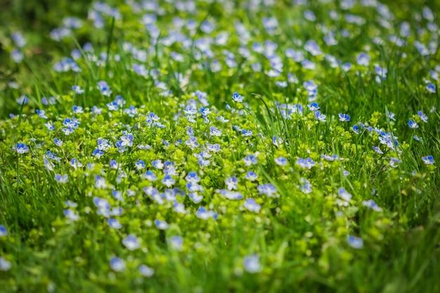 Veronica filamentosa che cresce tra l'erba verde