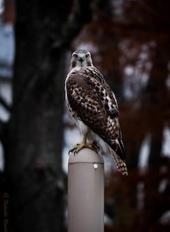 Verticale di un simpatico falco dalle spalle rosse in piedi su un bastone