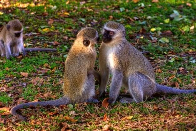 Vervet scimmie