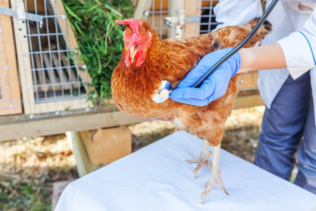 Veterinario con la tenuta dello stetoscopio e l'esame del pollo sul ranch. gallina nelle mani del veterinario per check up in eco farm naturale.