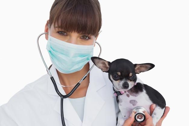 Veterinario con maschera protettiva in possesso di un simpatico chihuahua