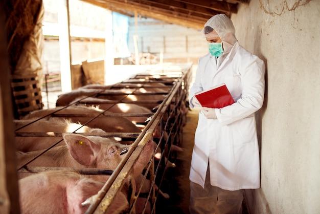Veterinario del maiale che controlla i maiali per le malattie