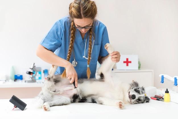 Veterinario femminile che pettina i peli di cane con il pettine della pulce