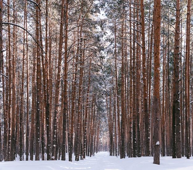 Vicolo nella foresta invernale. alti pini innevati in tempo soleggiato