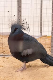 Victoria ha incoronato il piccione in fattoria