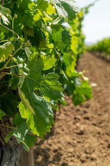 Vigneto pronto a produrre vino