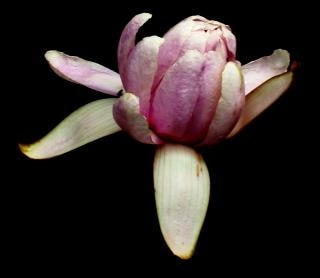 Viola lilly su sfondo nero