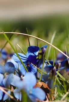 Viole in primavera in primo piano su uno sfondo sfocato.