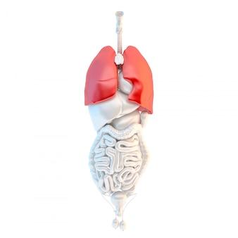 Vista a figura intera degli organi interni maschili umani con polmoni highlited