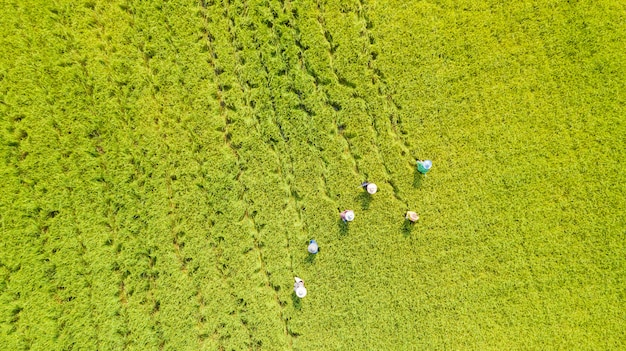 Vista aerea aerea del coltivatore che lavora nelle risaie